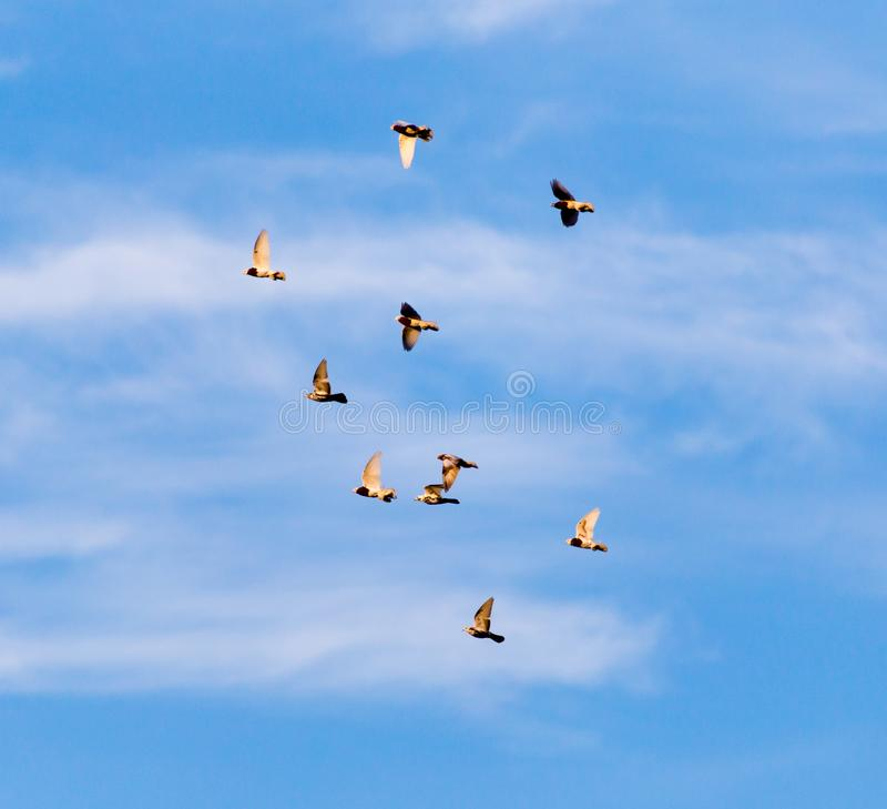 Una moltitudine di piccioni nel cielo immagine stock