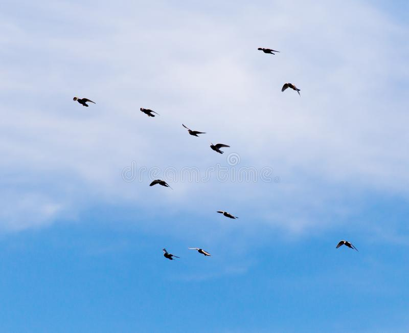 Una moltitudine di piccioni nel cielo immagini stock libere da diritti