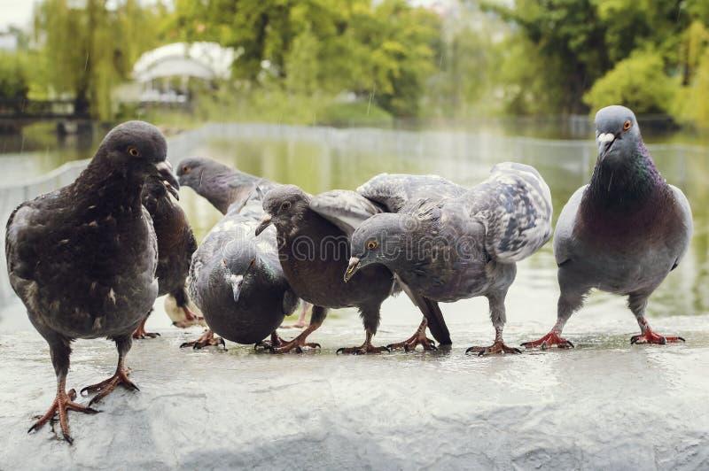 Una moltitudine di piccioni nel parco nella pioggia immagini stock