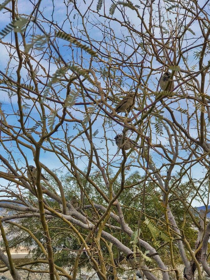 Una moltitudine di sparrowa su un cespuglio fotografia stock