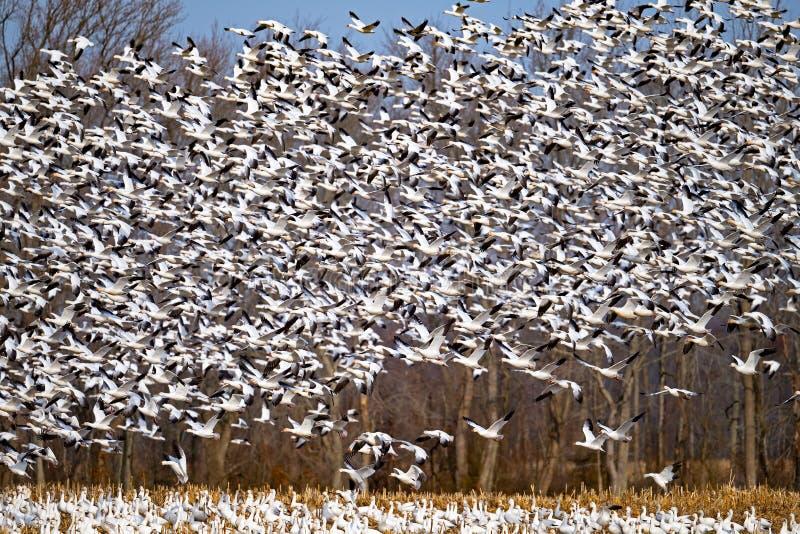 Una moltitudine massiccia di oche polari toglie fotografia stock libera da diritti