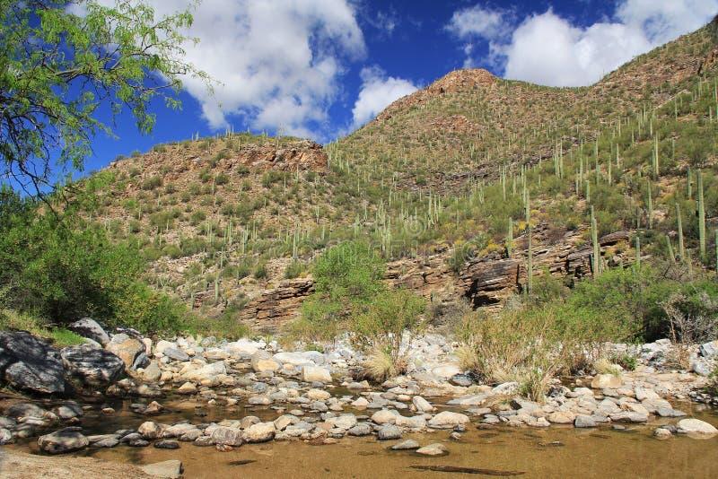 Una montaña del Saguaro en barranco del oso en Tucson, AZ imagen de archivo libre de regalías