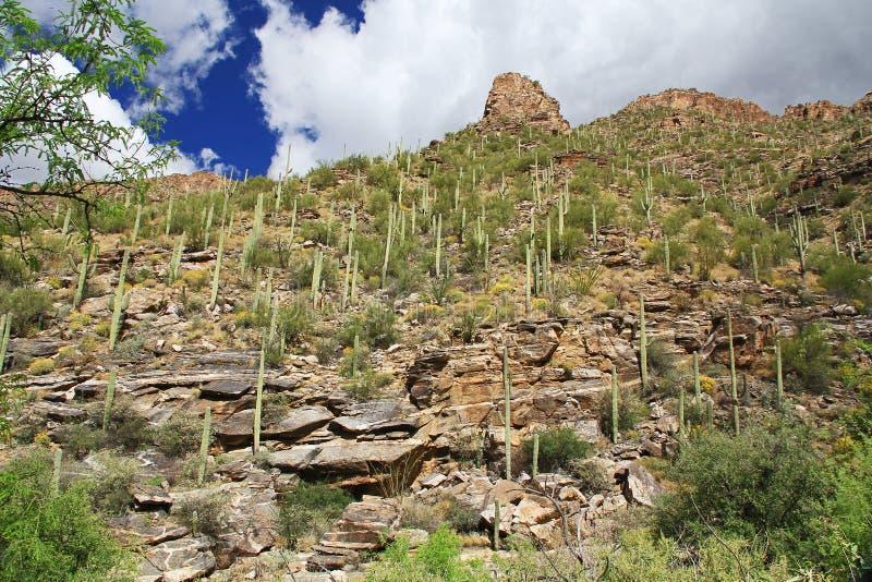 Una montaña del Saguaro en barranco del oso en Tucson, AZ fotos de archivo libres de regalías