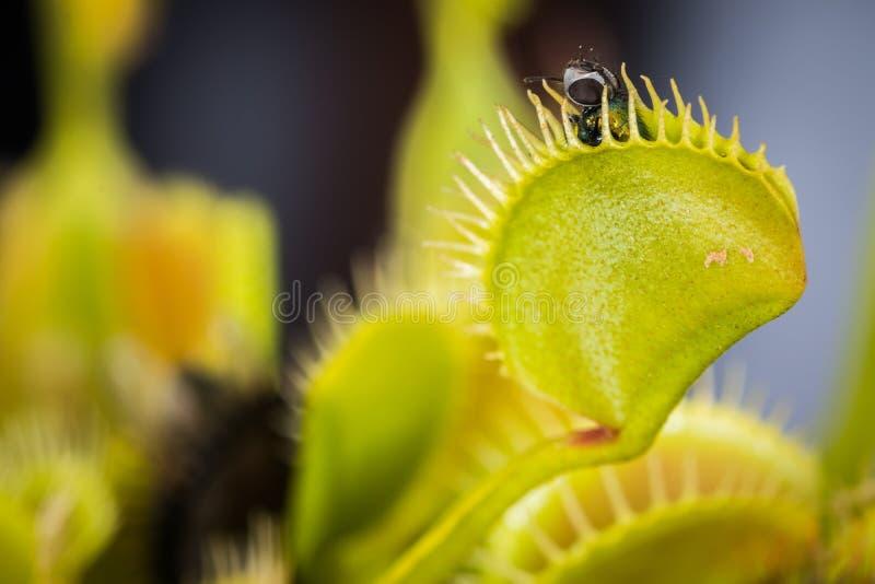 Una mosca cogida en Venus Flytrap foto de archivo