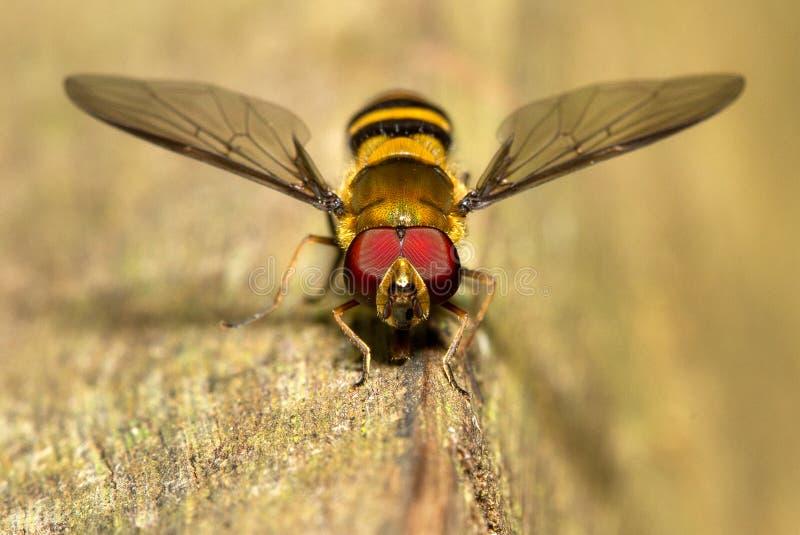 Una mosca colorida fotografiada en la Argentina fotos de archivo