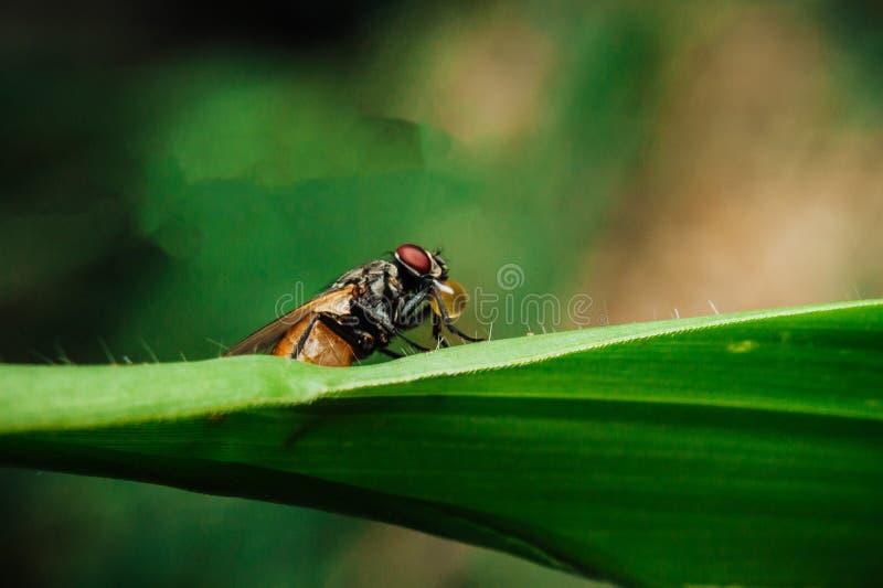 Una mosca comune immagine stock libera da diritti