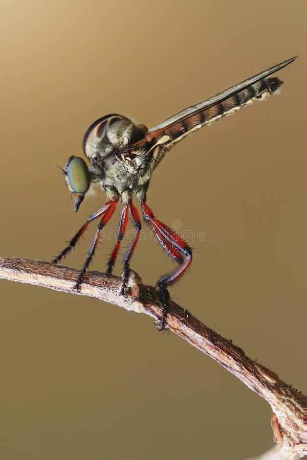 Una mosca de ladrón en la rama foto de archivo