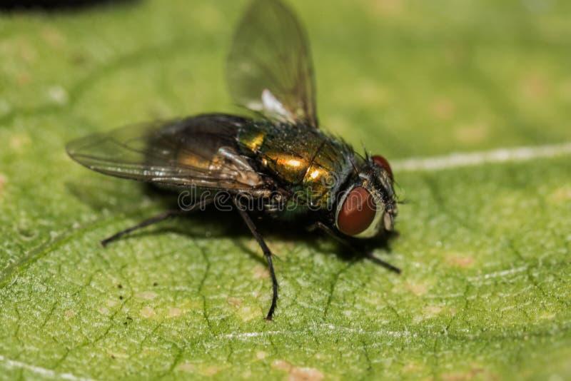 Una mosca que permanece en una hoja verde foto de archivo libre de regalías