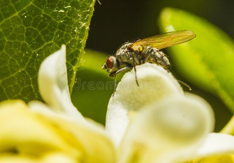 Una mosca sul petalo di pittosporum fotografia stock libera da diritti