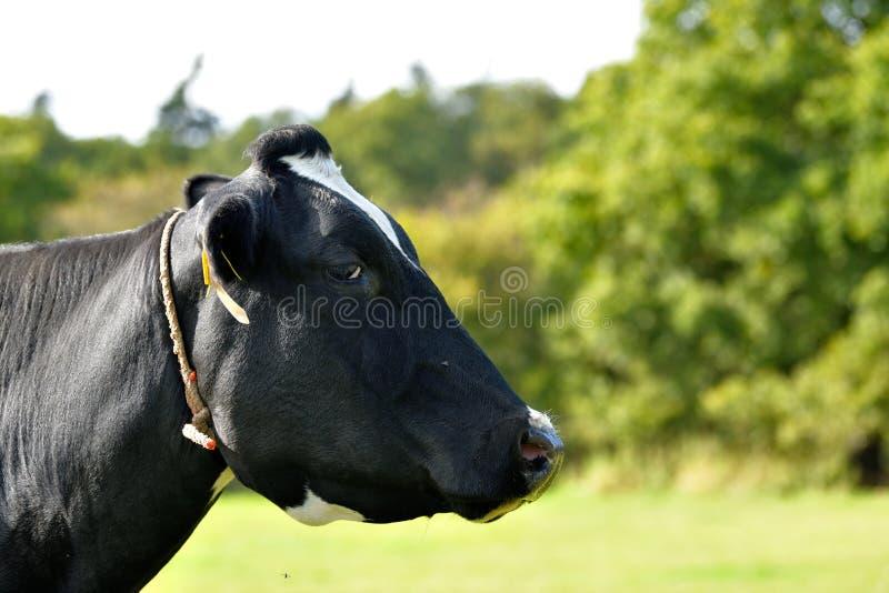 Una mucca in bianco e nero adorabile sta mostrando il suo profilo per il foto-tiro immagine stock libera da diritti