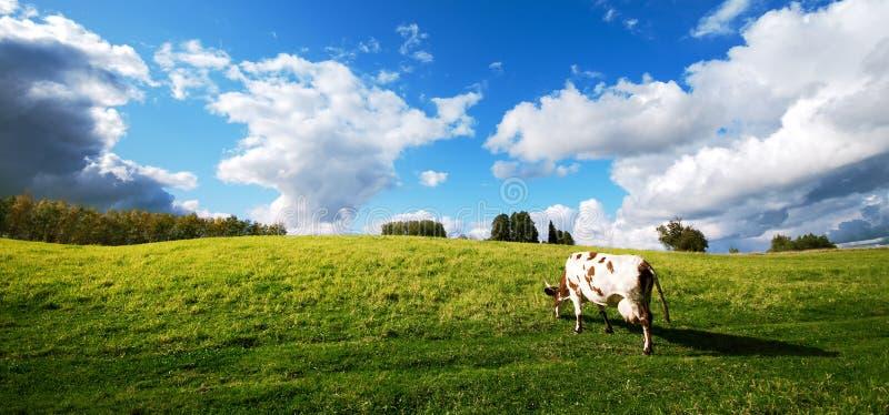 Una mucca che pasce nel prato immagine stock