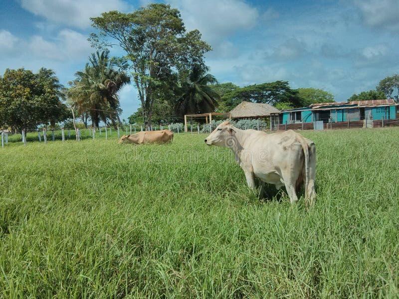 Una mucca di cibo al campo immagini stock libere da diritti