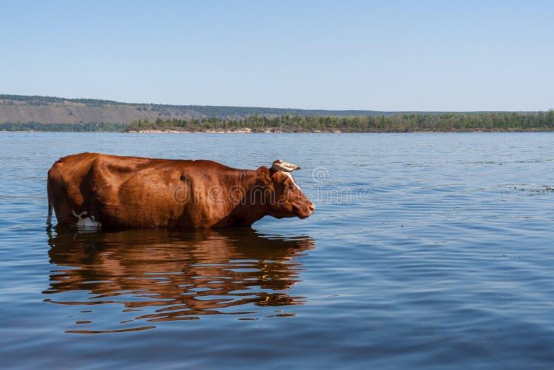 Una mucca marrone sta stando nel fiume Volga e freshing nel giorno di estate caldo fotografie stock libere da diritti