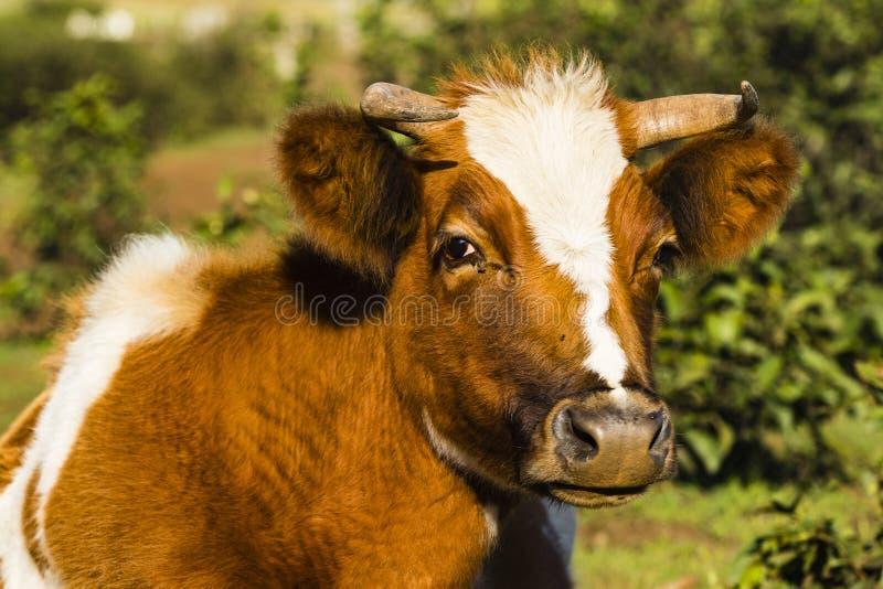 Una mucca nei campi immagine stock