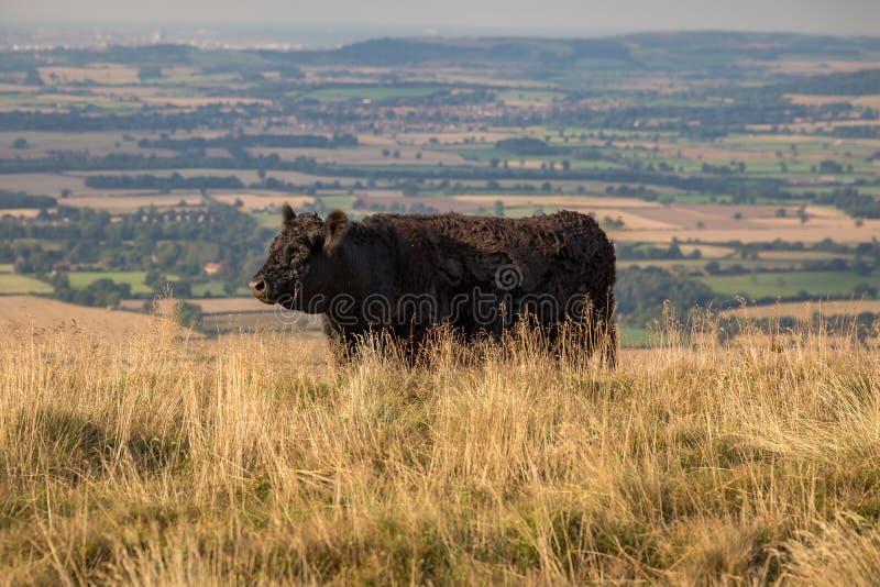 Una mucca nera a York del nord attracca, il Regno Unito immagine stock