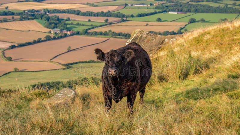 Una mucca nera a York del nord attracca, il Regno Unito fotografia stock libera da diritti
