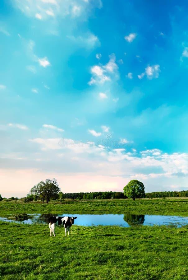 Una mucca pasce su un prato vicino allo stagno fotografia stock libera da diritti