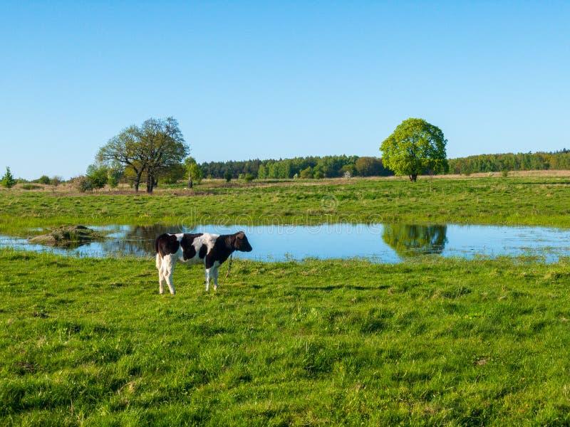 Una mucca pasce su un prato vicino allo stagno fotografie stock