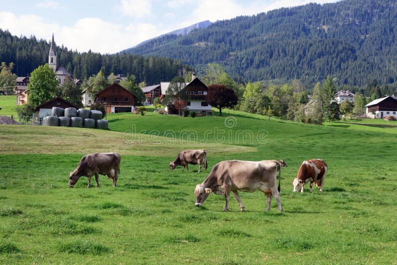Una mucca pascola un prato verde Primo mattino in Austria Il paesaggio tradizionale austriaco: montagne, case accoglienti e prati immagini stock