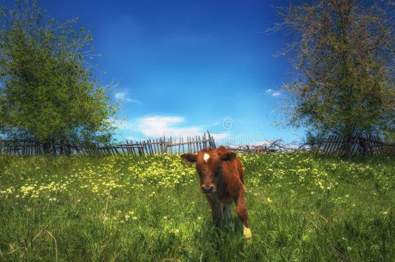 Una mucca rossa pasce su un prato contro il vecchio recinto di legno immagine stock