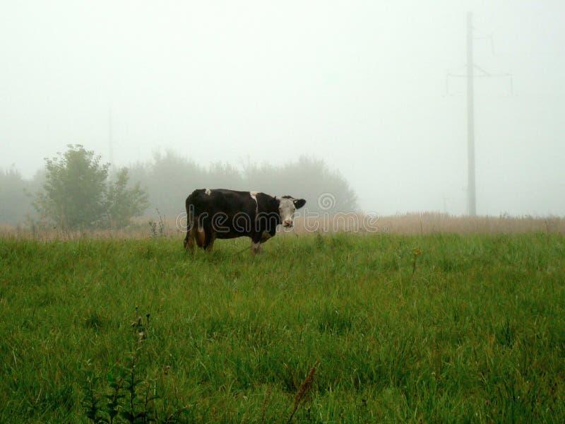 Una mucca sola pasce su un prato verde su una mattina nebbiosa fotografie stock