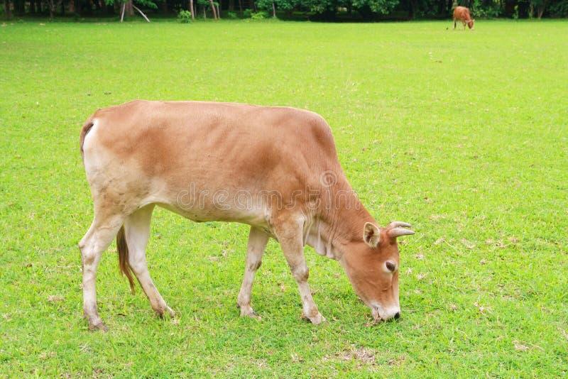 Una mucca sta mangiando l'erba fotografia stock