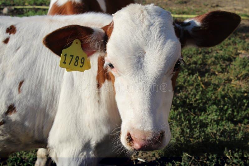 Una mucca su un'azienda agricola con un numero esamina la macchina fotografica ed è triste perché presto sarà mangiata fotografia stock