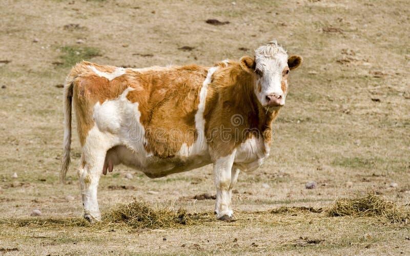 Una mucca sul pascolo fotografia stock libera da diritti