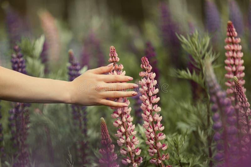 Una muchacha con una manicura hermosa toca una flor en un campo de altramuces imagen de archivo