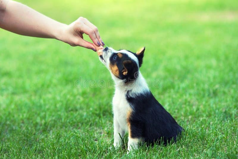 Una muchacha está alimentando una salchicha de un pequeño perrito fotos de archivo