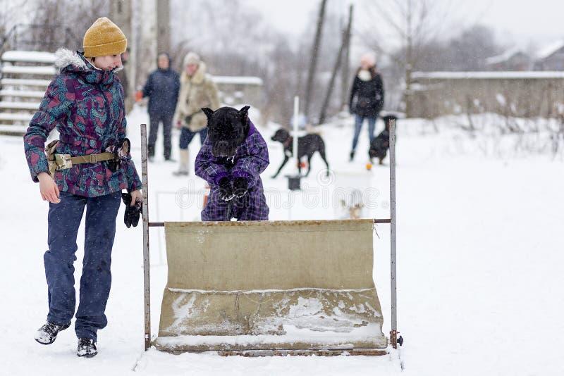 Una muchacha para entrenar al bastón Corso, la calle en el invierno fotografía de archivo libre de regalías