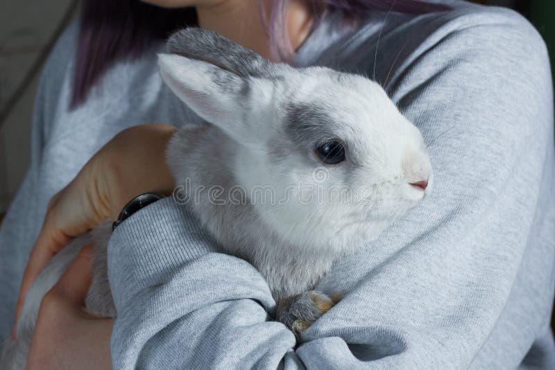 Una muchacha que lleva a cabo encendido las manos un conejo gris blanco lindo fotos de archivo
