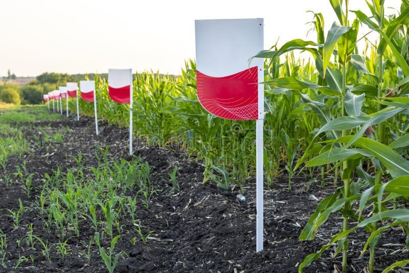 Una muestra en blanco en el borde del campo de indicar la variedad de maíz cultivado imagen de archivo libre de regalías