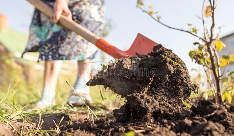 Una mujer cava un jardín con una pala fotos de archivo