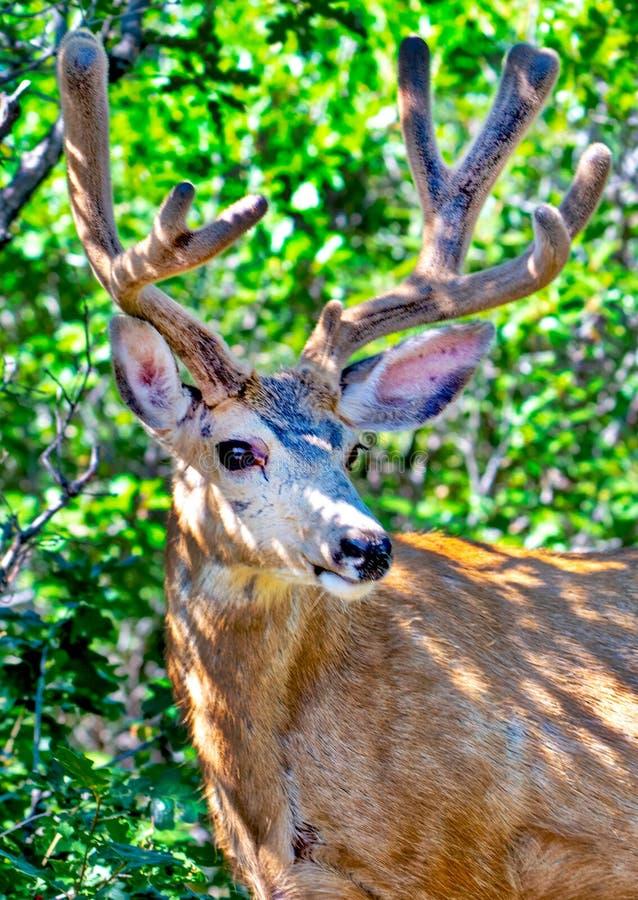 Una mula joven Buck Deer con las astas crecientes en los robles imagen de archivo libre de regalías