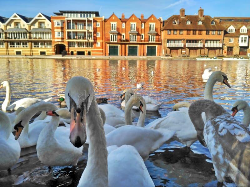 Una multitud de cisnes blancos grandes en el río Támesis en Windsor, Gran Bretaña fotografía de archivo libre de regalías
