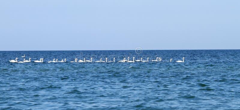Una multitud de cisnes en el Mar Negro fotos de archivo libres de regalías