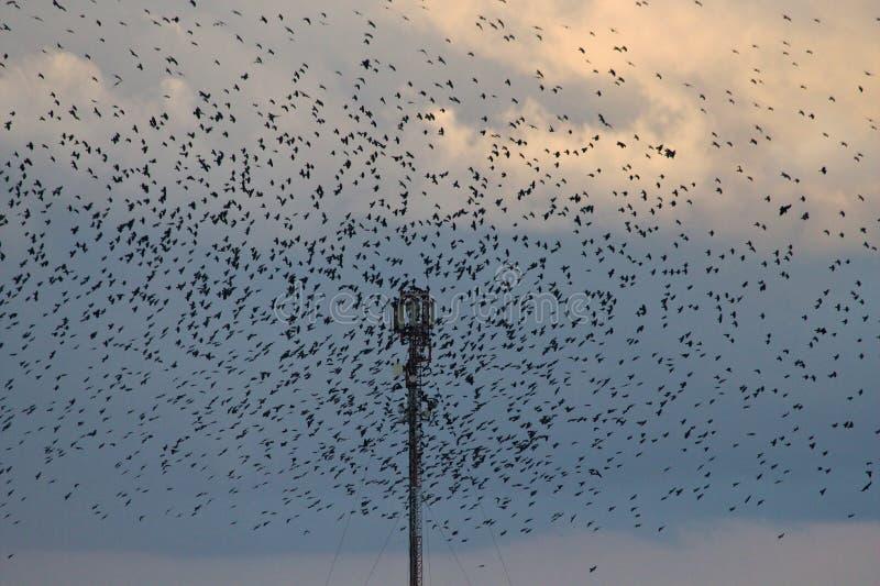 Una multitud de cuervos imagenes de archivo