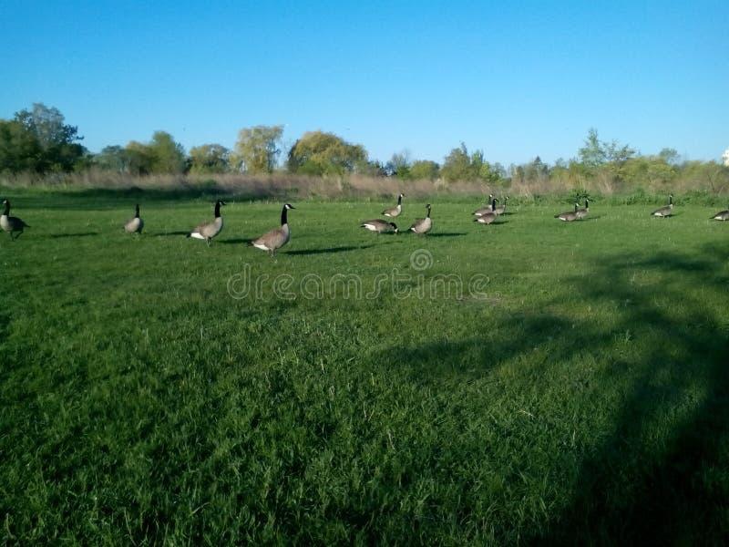 Una multitud de gansos canadienses en paseo fotos de archivo libres de regalías