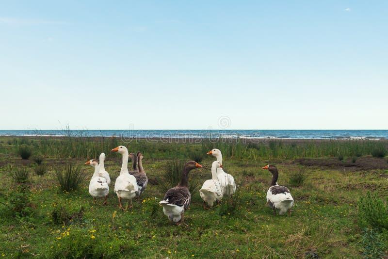 Una multitud de gansos por el mar fotografía de archivo