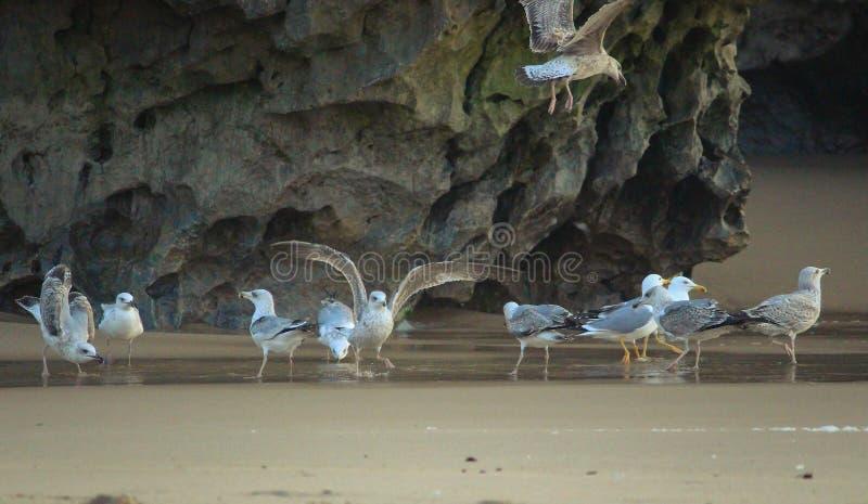 Una multitud de gaviotas en la arena foto de archivo