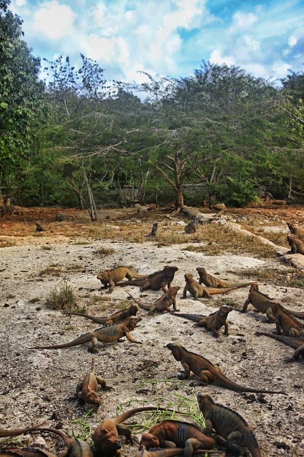 Una multitud de iguanas foto de archivo