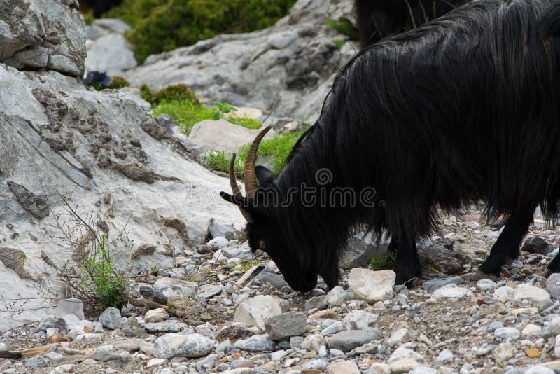 Una multitud de las cabras de montaña pasta libremente Montañas de Albania imágenes de archivo libres de regalías
