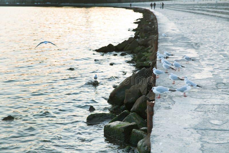 Una multitud de las gaviotas que se colocan cerca del mar Una multitud de las gaviotas que se colocan cerca del mar, gaviota Brow fotos de archivo
