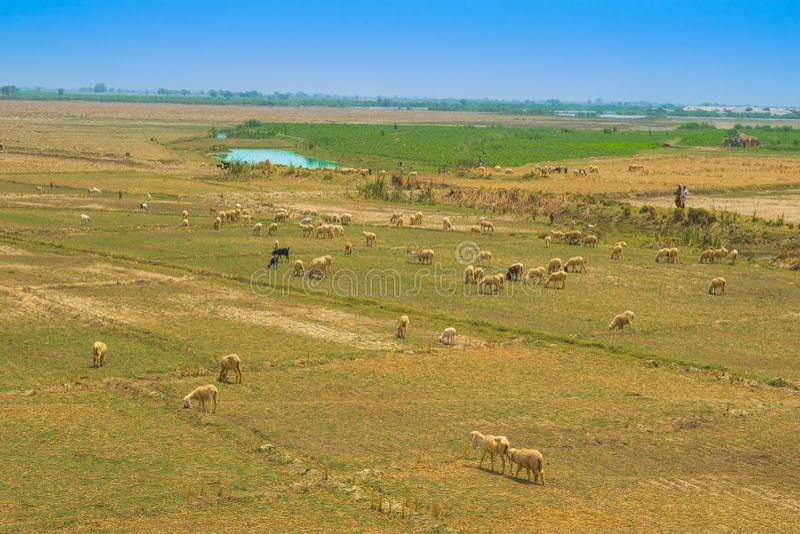 Una multitud de las ovejas que pastan en el ameadow de Punjab, Paquistán imagen de archivo