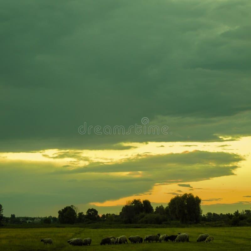 Una multitud de las ovejas que pastan en un prado por la tarde fotos de archivo