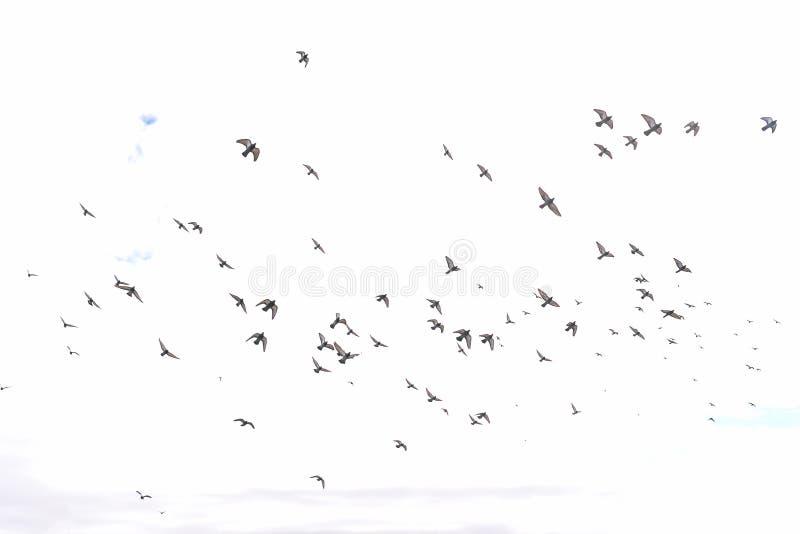 Una multitud de las palomas que vuelan en el cielo Cielo azul con las nubes Palomas que vuelan din?micas en la ciudad P?jaros en  fotos de archivo libres de regalías