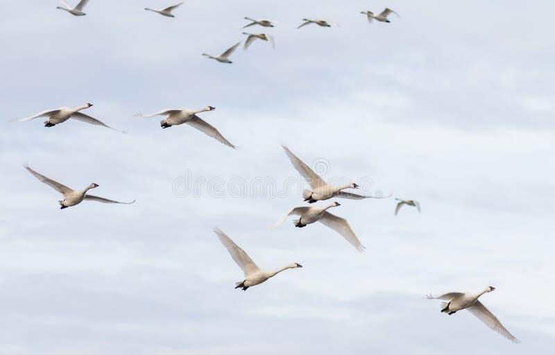 Una multitud de los cisnes de tundra en aire imagenes de archivo