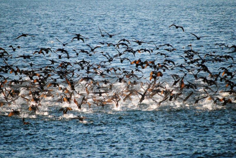 Una multitud de los cormoranes que toman vuelo en el agua fotografía de archivo