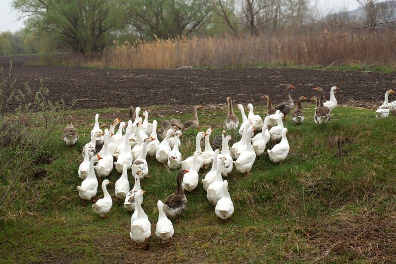 Una multitud de los gansos blancos camina en la primavera en el pueblo en el prado con la hierba verde fresca y la tierra arada foto de archivo libre de regalías